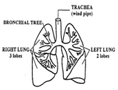 Congenital Cystic Adenomatoid Malformation of the lung